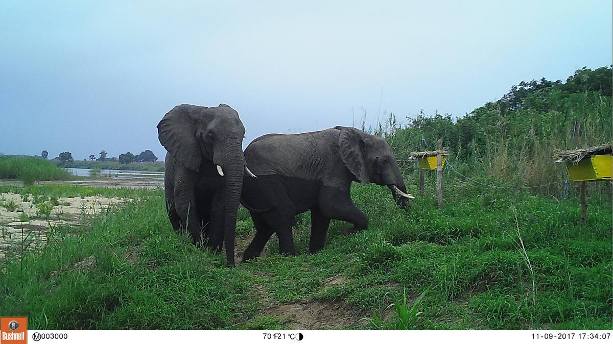 U of I-Led Study Finds Experimental Fences Deter Elephant Crop Raiding, Provide Income