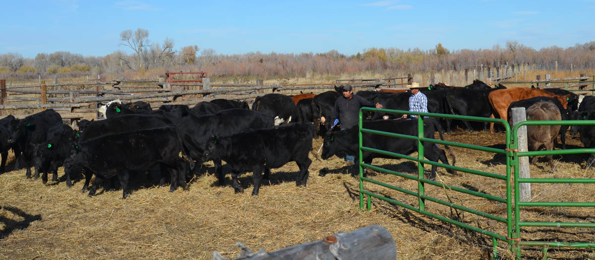 rounding up livestock on a ranch