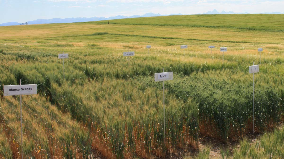 A field of grain varieties