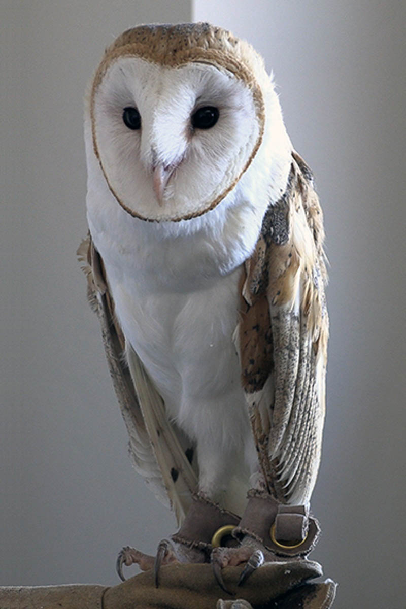 A junior barn owl being shown in a classroom