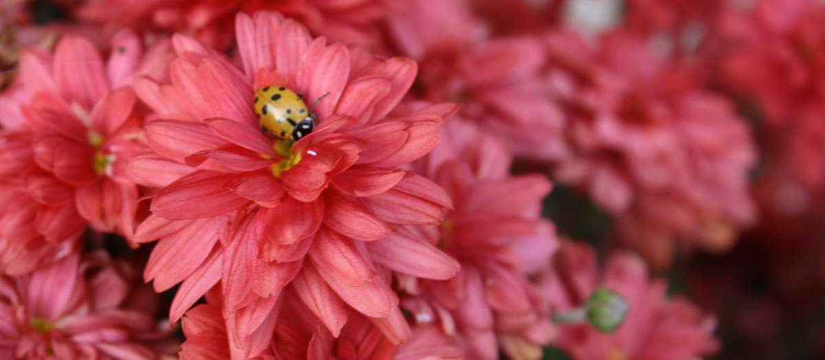 Washington-County-flower-ladybug.jpg
