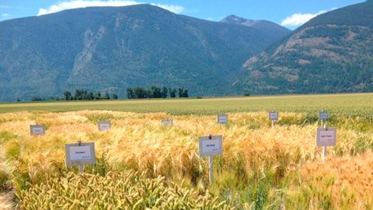 Small signs label different parts of a field full of wheat.