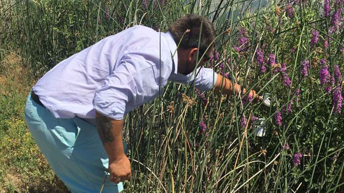 Brad Stokes, Extension educator, releasing beneficial insects (Galerucella spp.) for biological control of purple loosestrife (Lythrum salicaria) in Elmore County