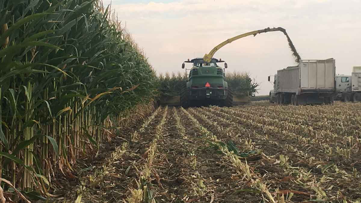 Corn being harvested for sillage in Elmore County, September 2017.