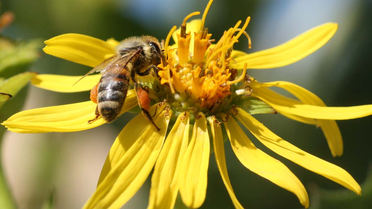 Honey bee (Apis mellifera) gathering nectar, note the pollen accumulating on hind legs in pollen basket.