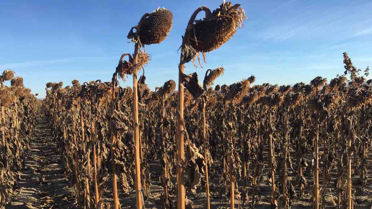 Sunflowers before fall harvest.