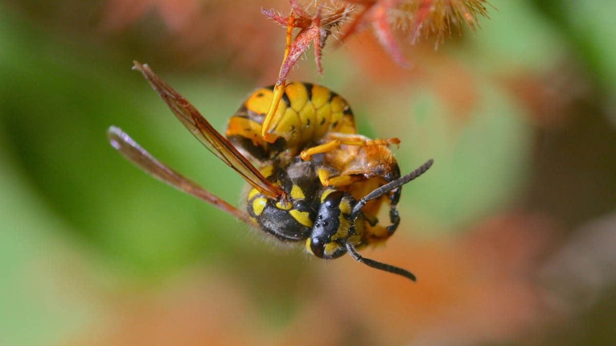 Wasp (Vespula spp.) feeding on the abdomen of a beneficial syrphid fly.