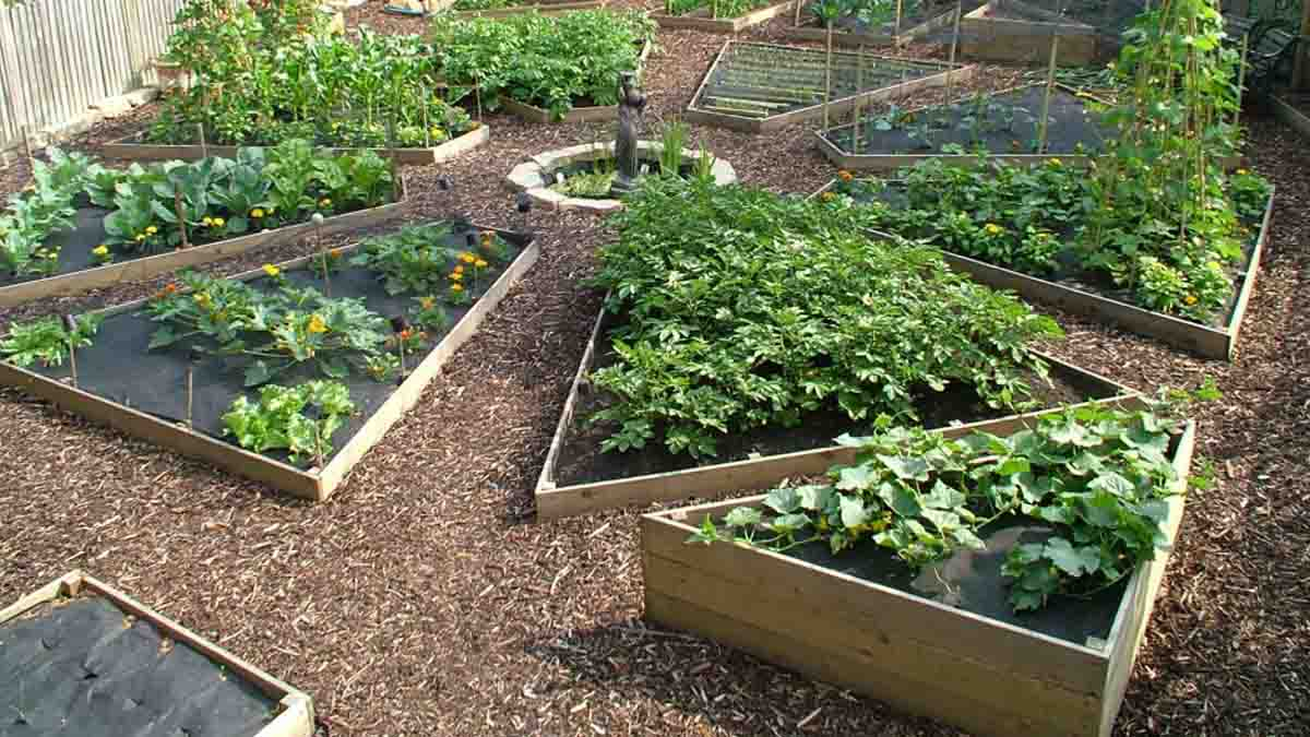 a raised or boxed vegetable garden