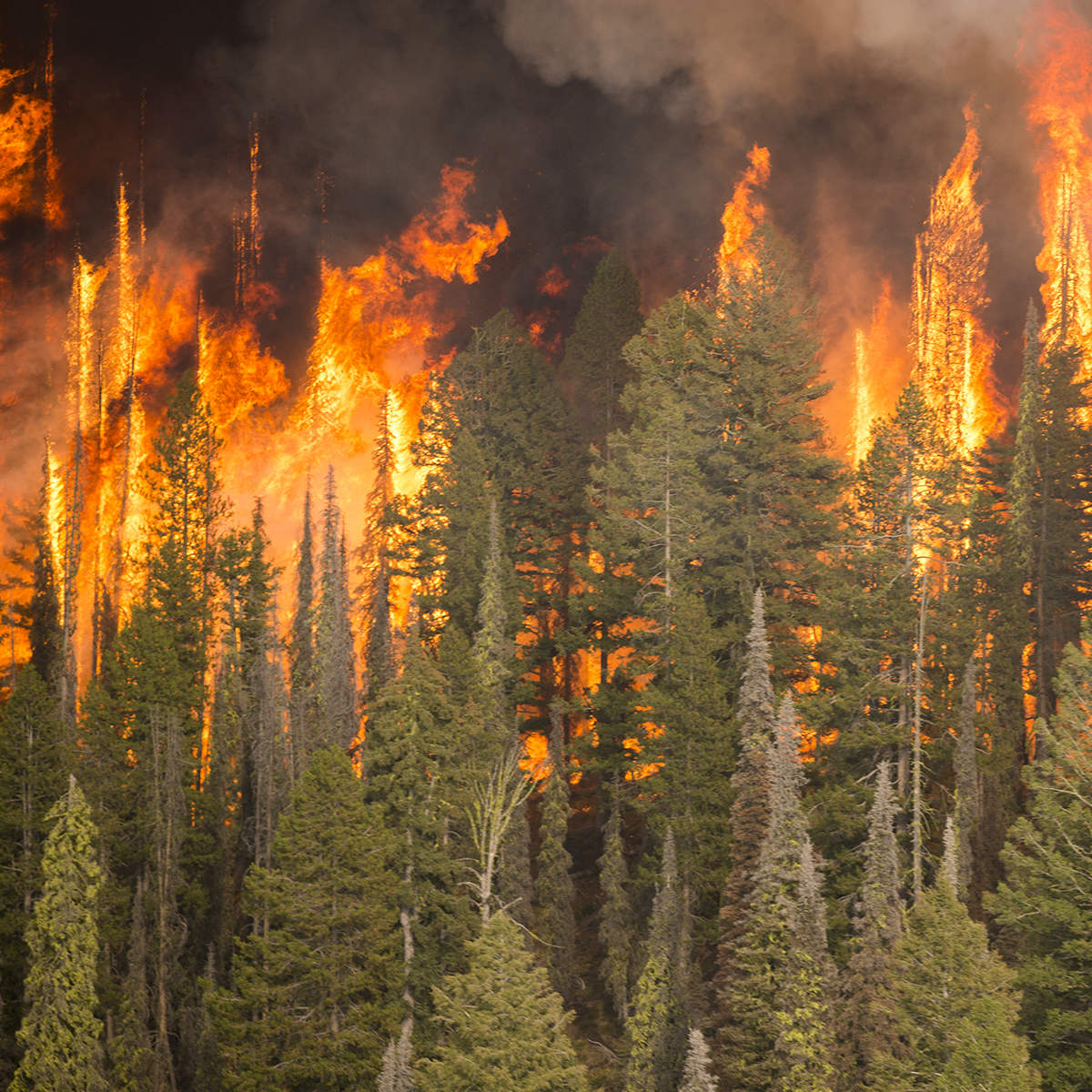 A wildfire moves through a forest.