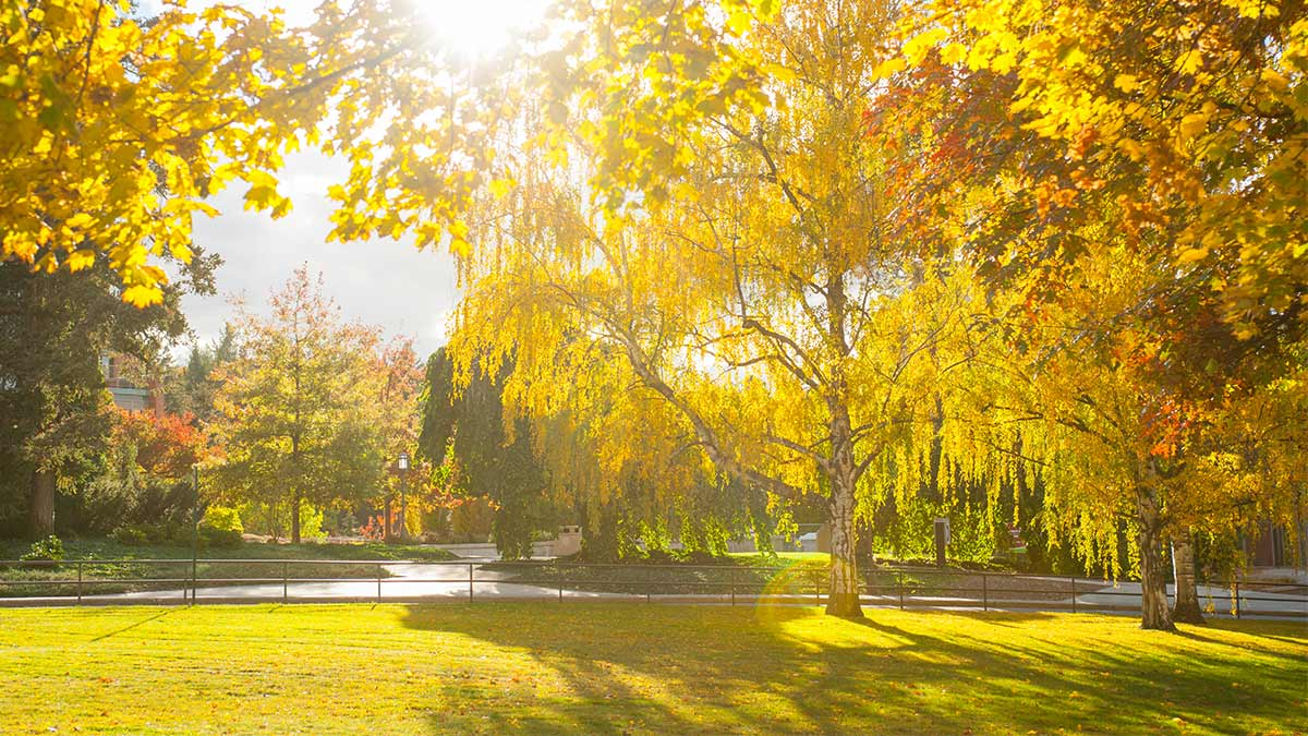 Bright, backlit, golden trees on the Administration lawn