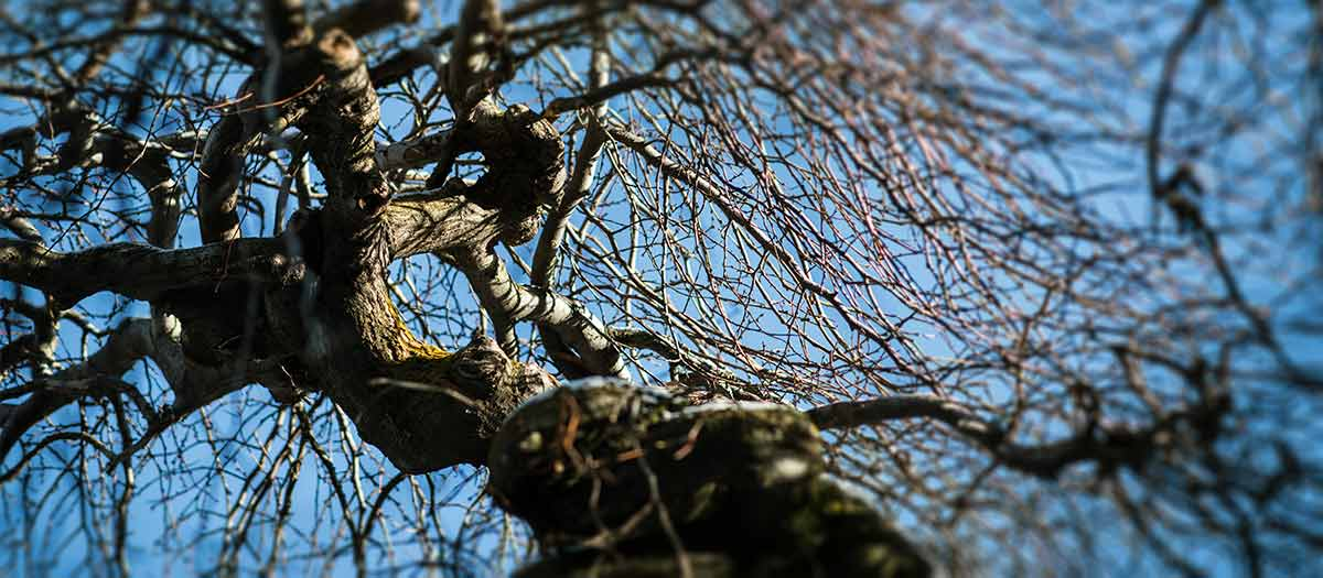 Camperdown elm tree branches without leaves