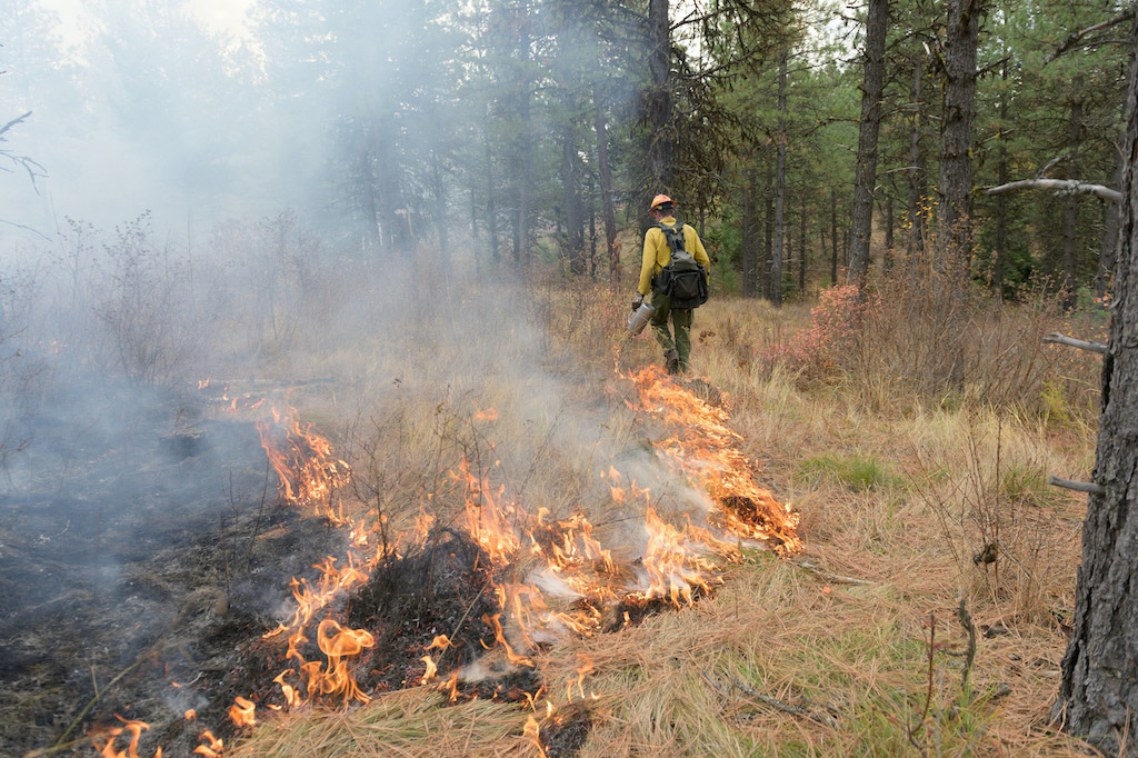 Firefighters use drip torches to start a prescribed burn.