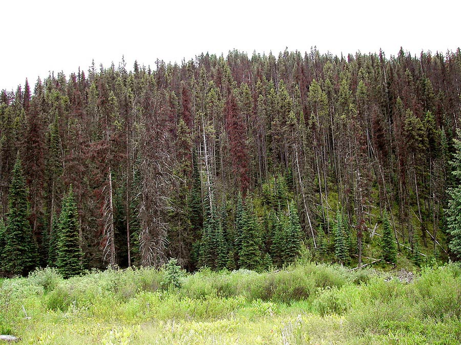 The dead trees in this forest can be turned into fuel to improve economic revenue and reduce fire hazard.
