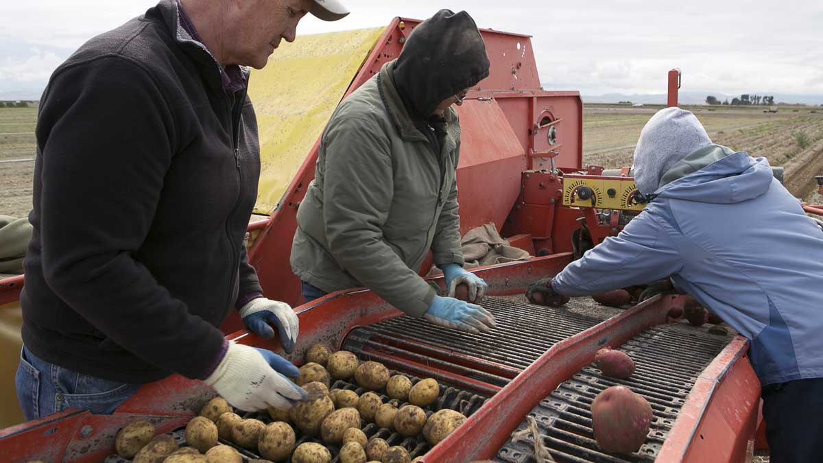 Harvesting potatoes with a conveyor
