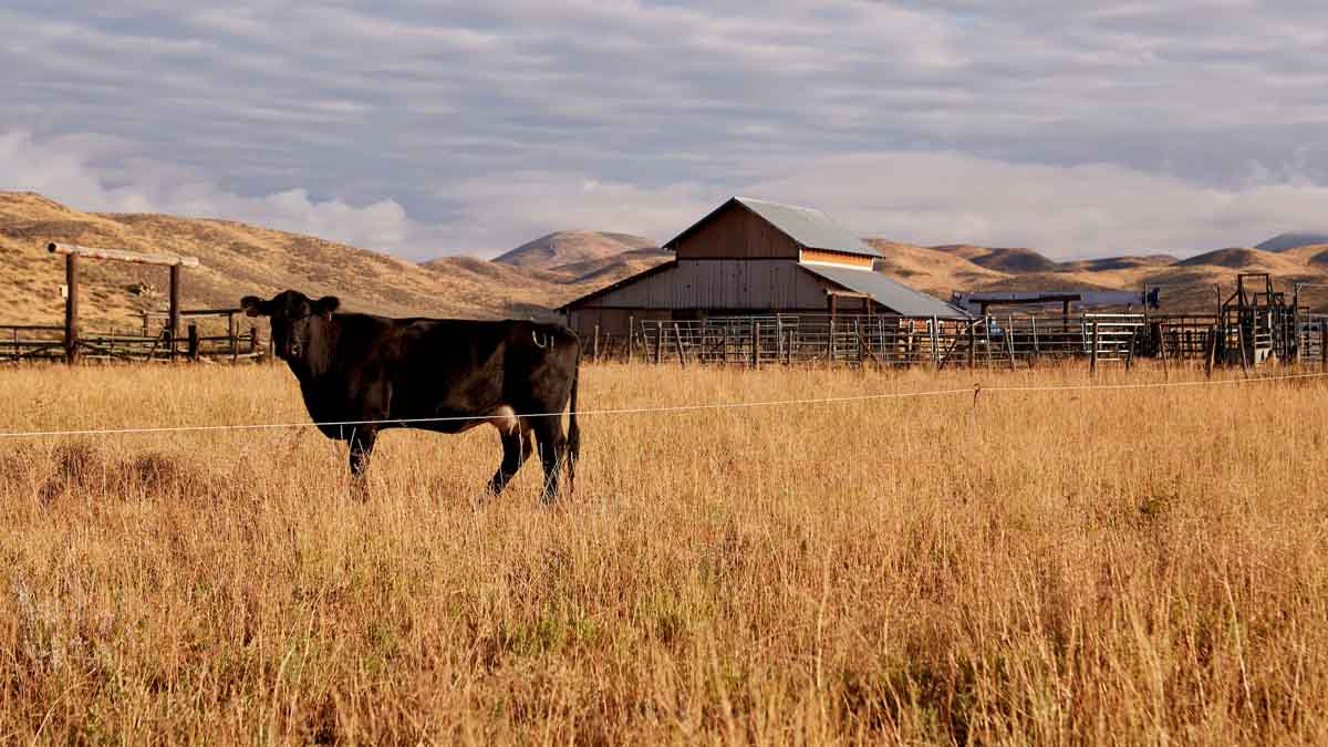 A dairy cow in field with barn in background.