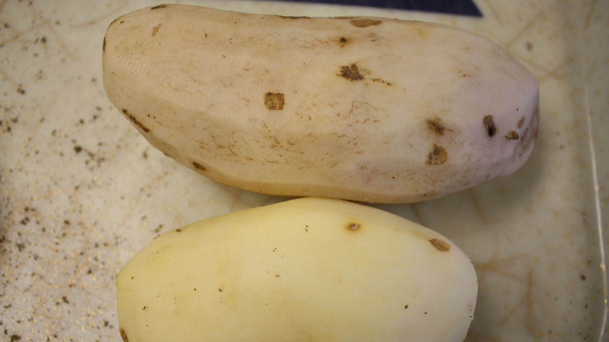 A ZC symptomatic tuber (above) and a healthy tuber (below)