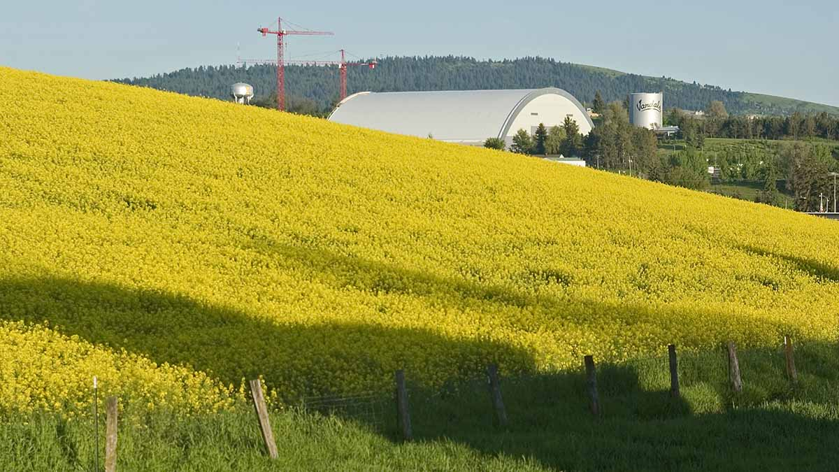 Canola field with ASUI Kibbie dome and university water tower in the background