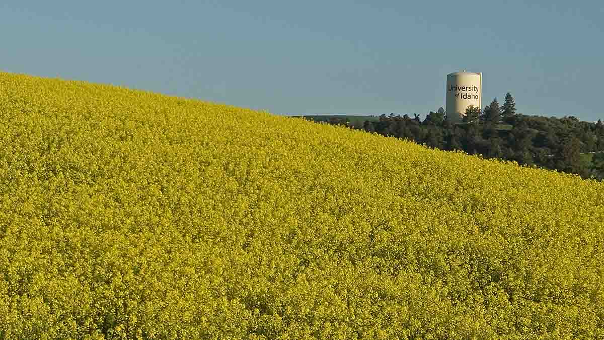 Canola field with university water tower in the background