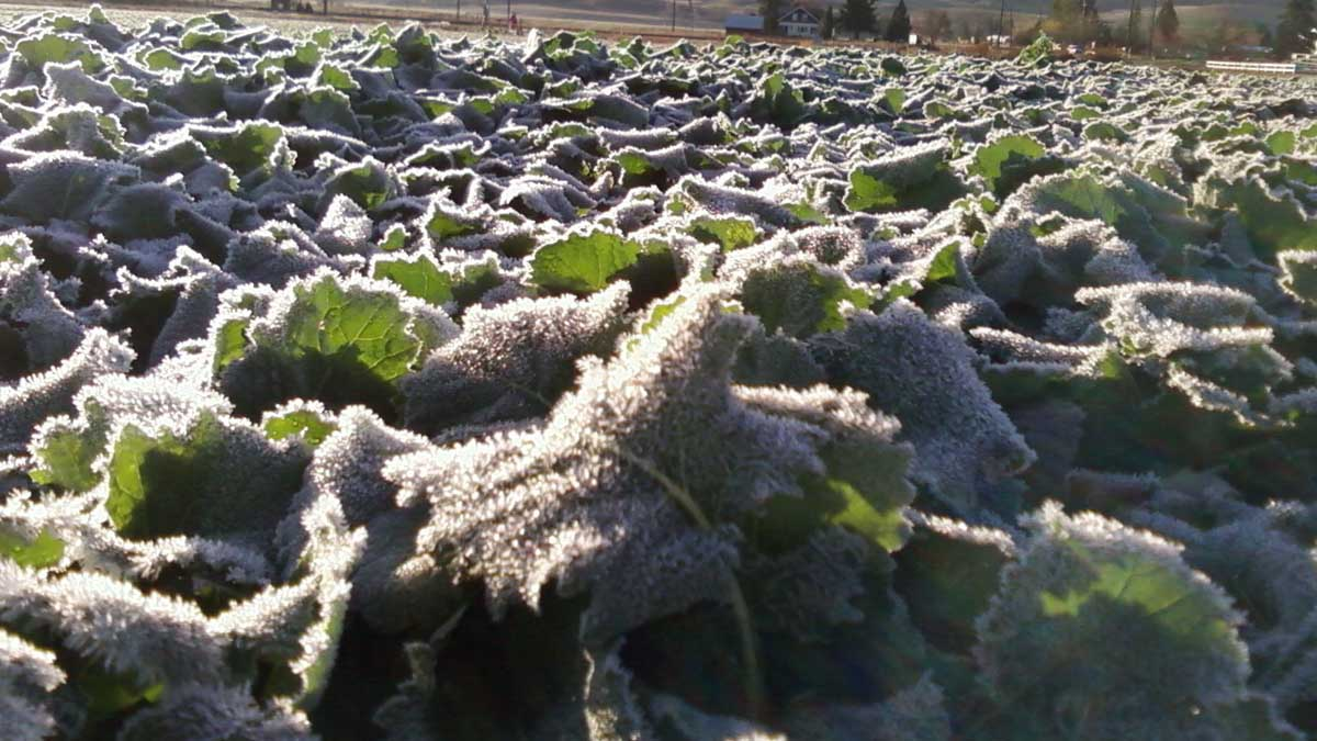 Frost on canola