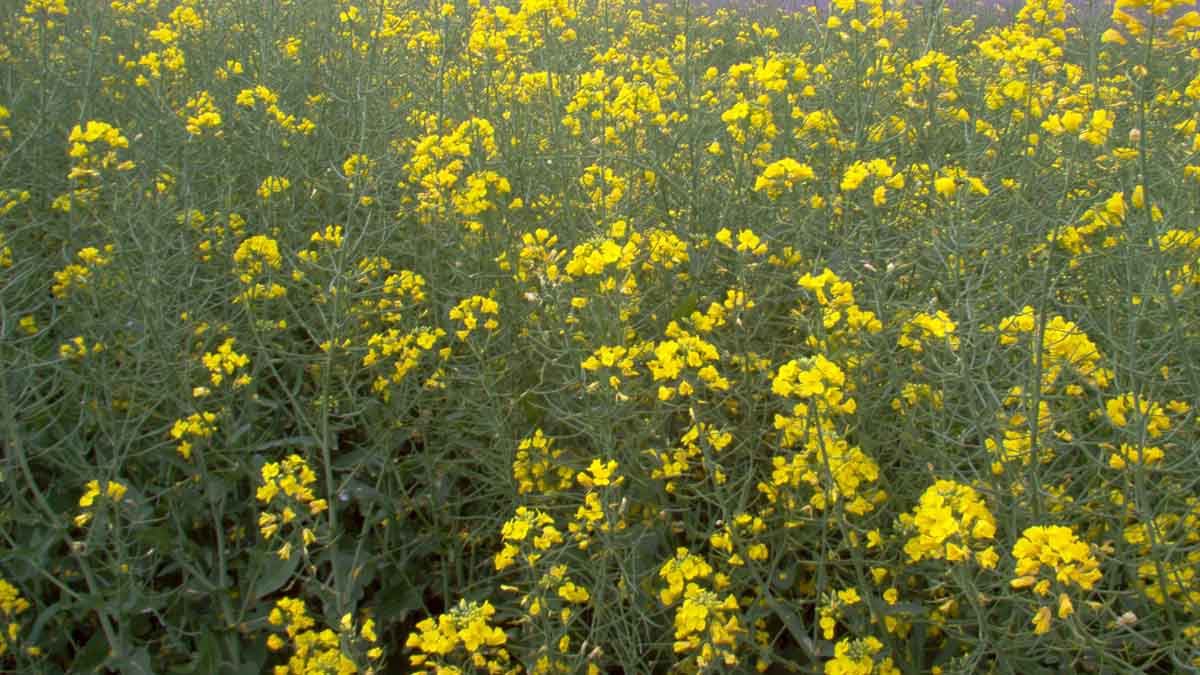Mustard with blooms