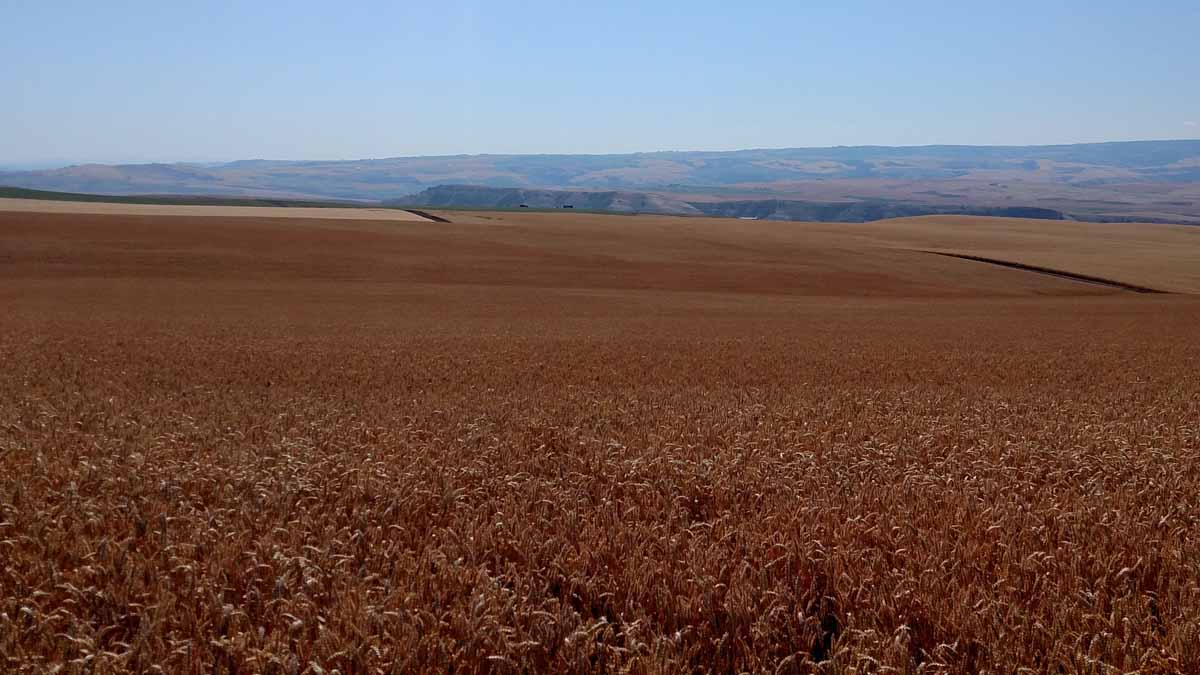 red wheat on the palouse