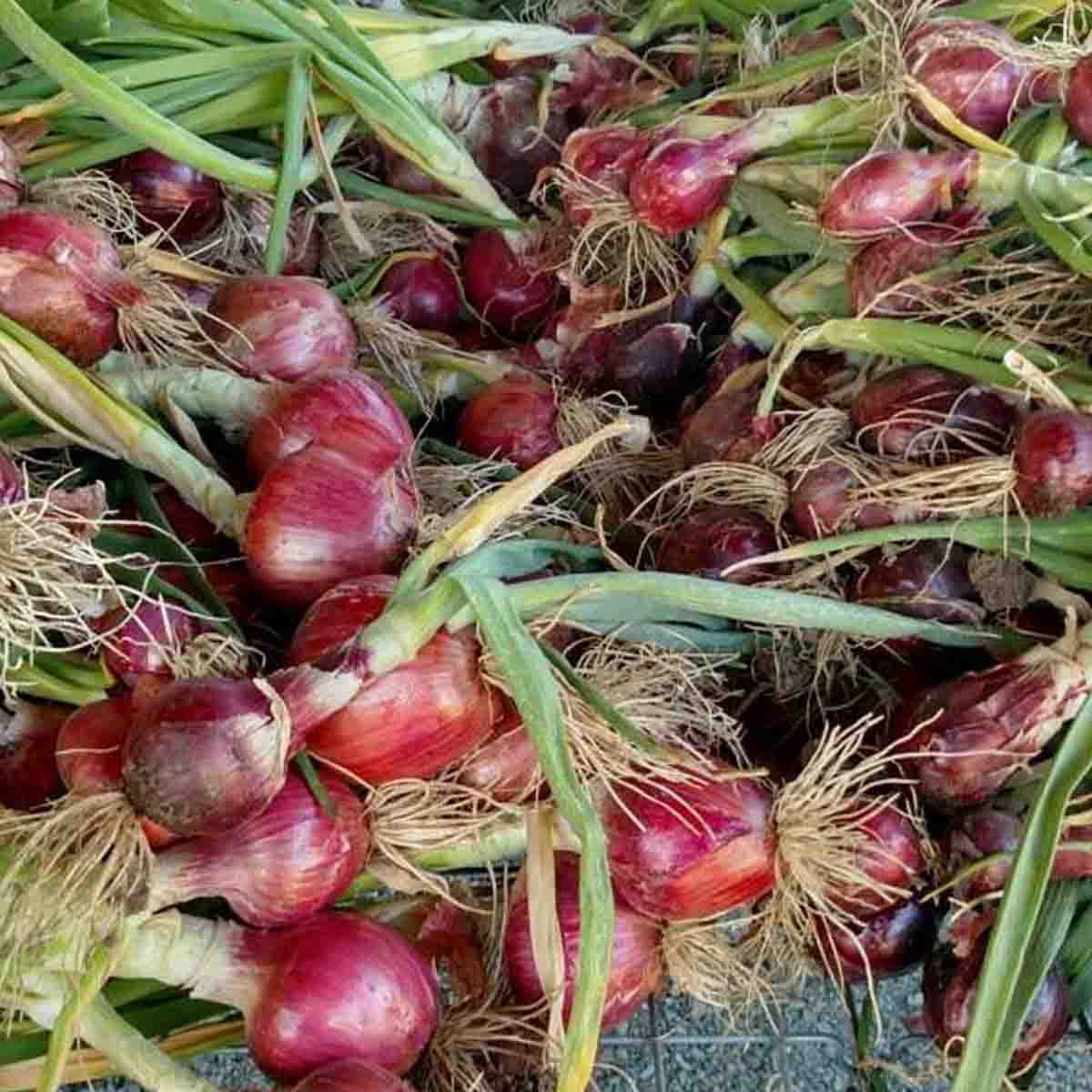 A huge bin of harvested onions