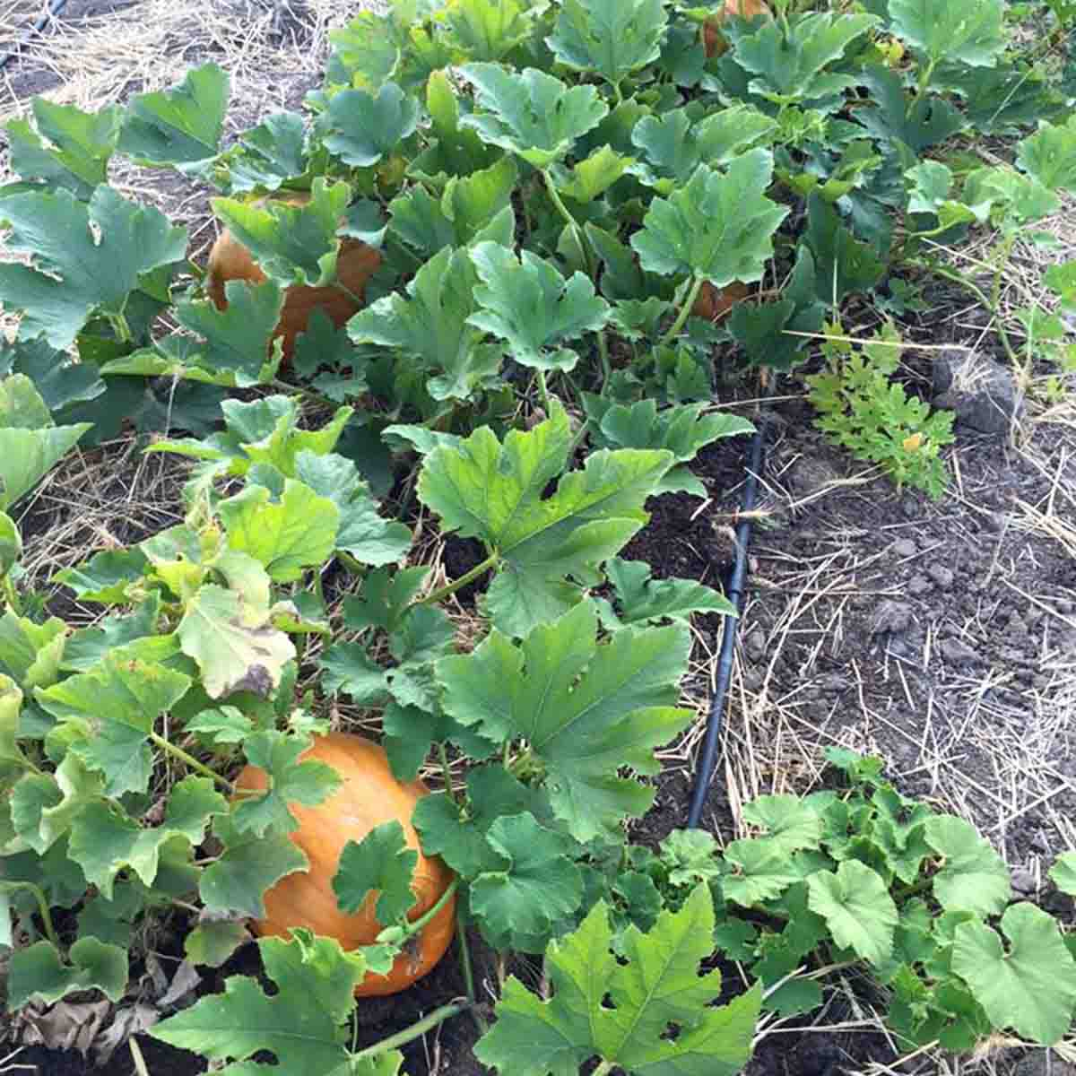 A few pumpkins growing in the garden
