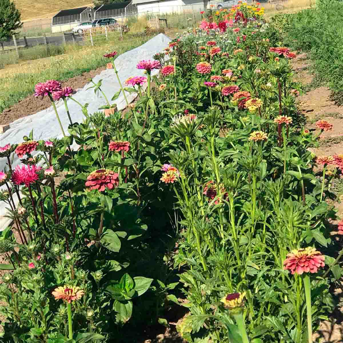 A variety of flowers grown on the Soil Stewards Farm