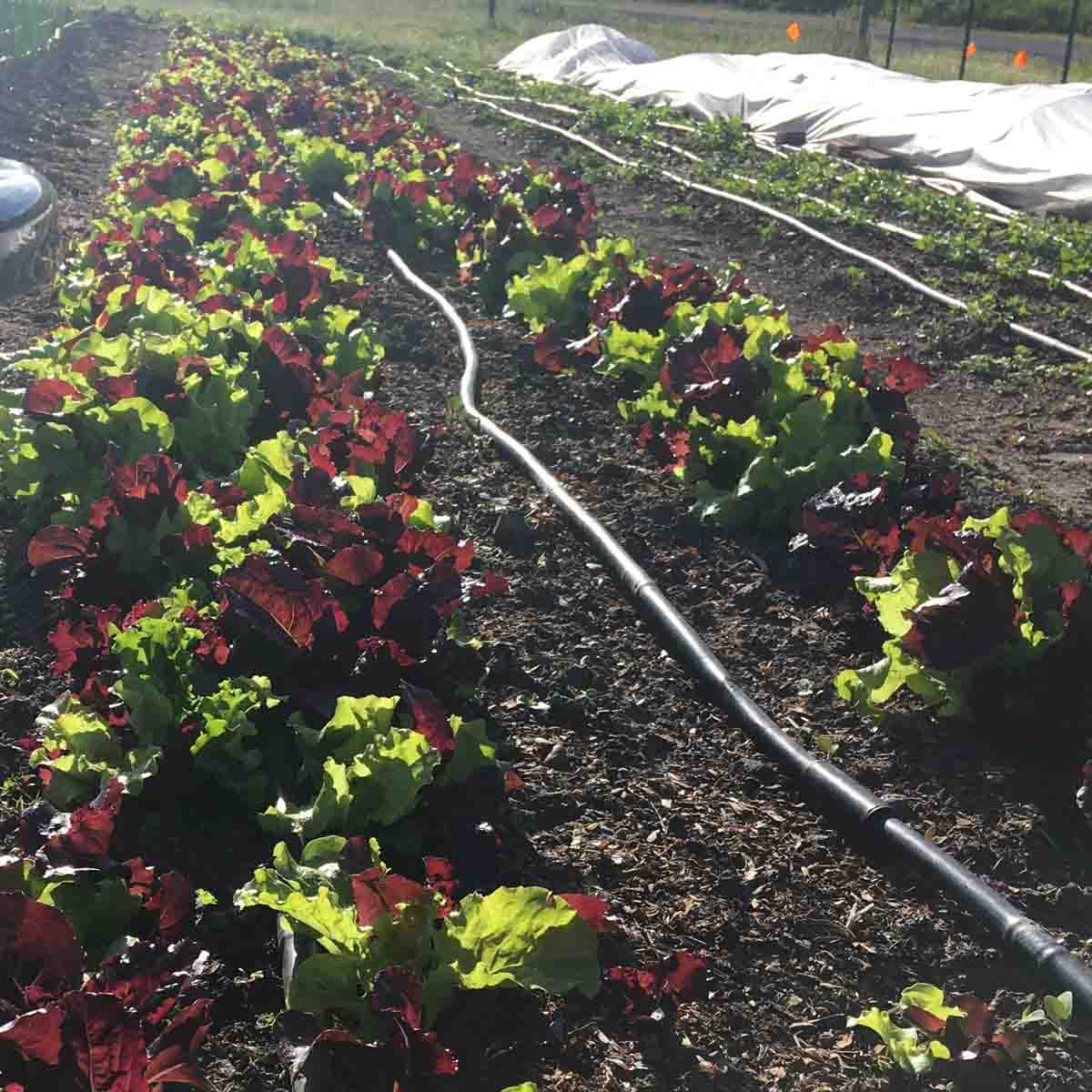 Salad mix at the Soil Stewards Farm