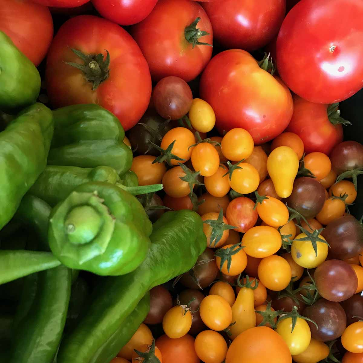 Harvested crop of tomatoes, cherry tomatoes and green peppers on the Soil Stewards Farm