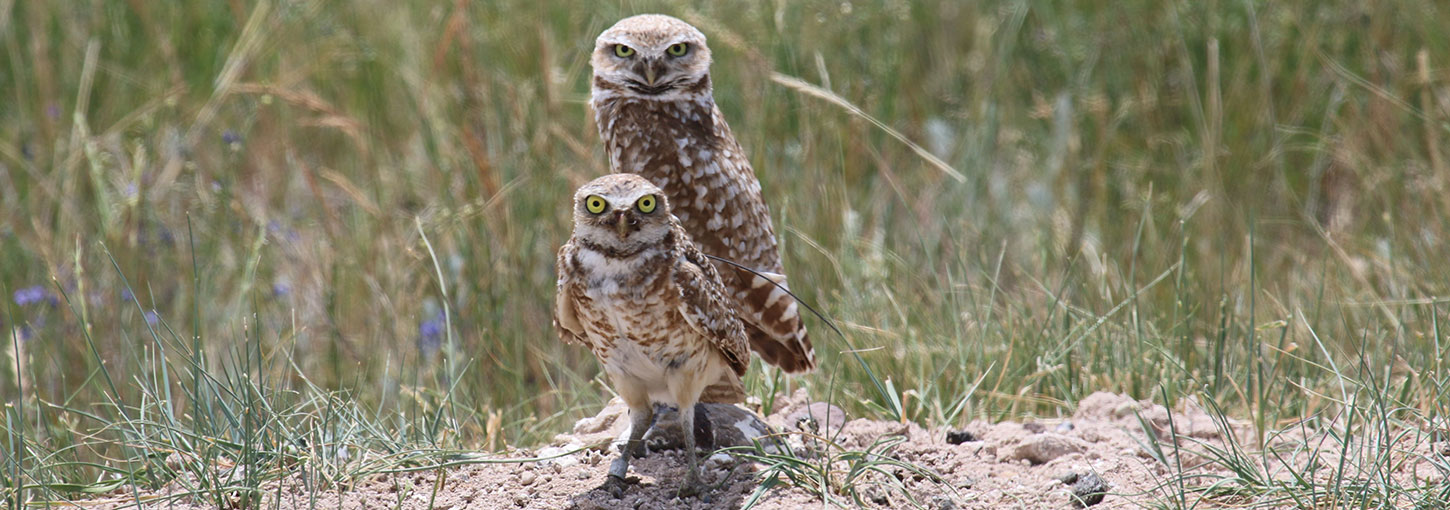 Two burrowing owls in Pinedale Wyoming