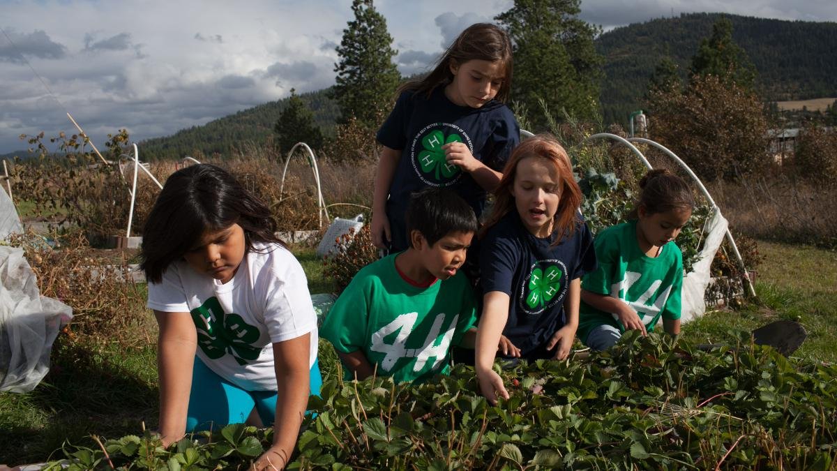 Five young 4-h members work in the soil of a strawberry patch.