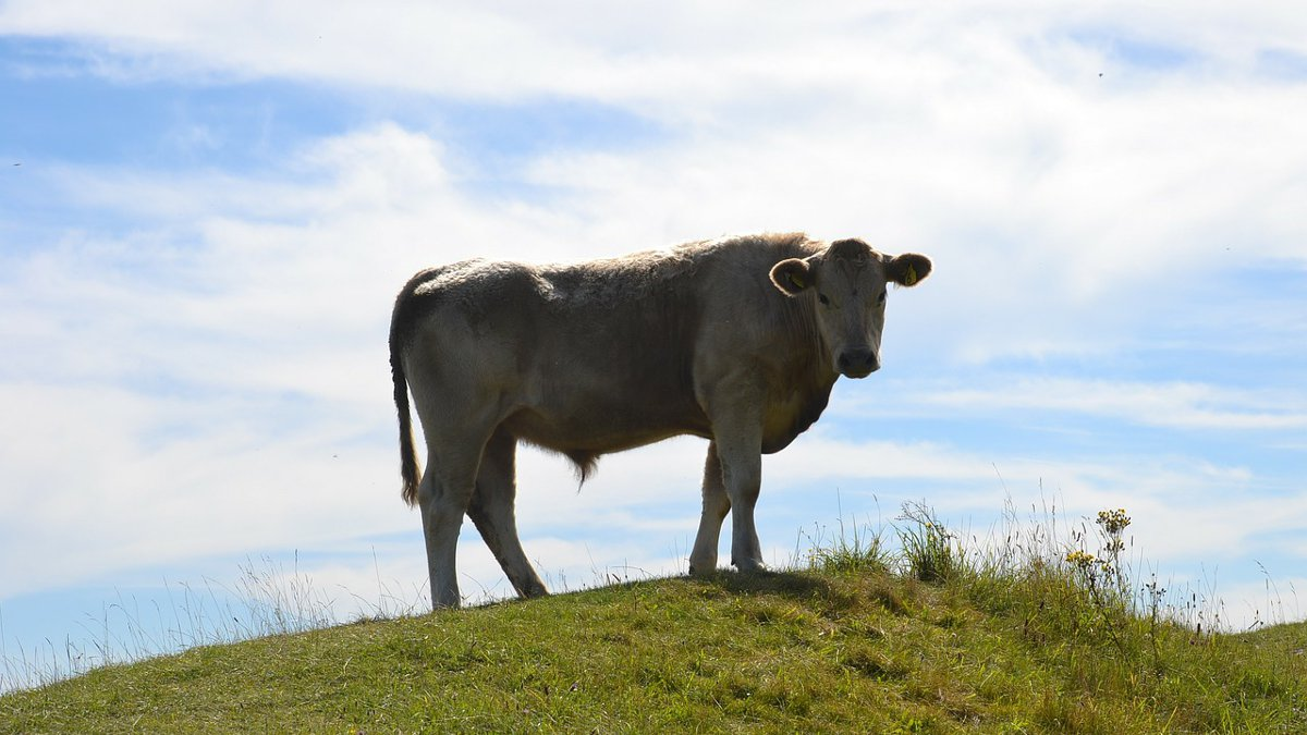 A cow standing on a grassy green hill.