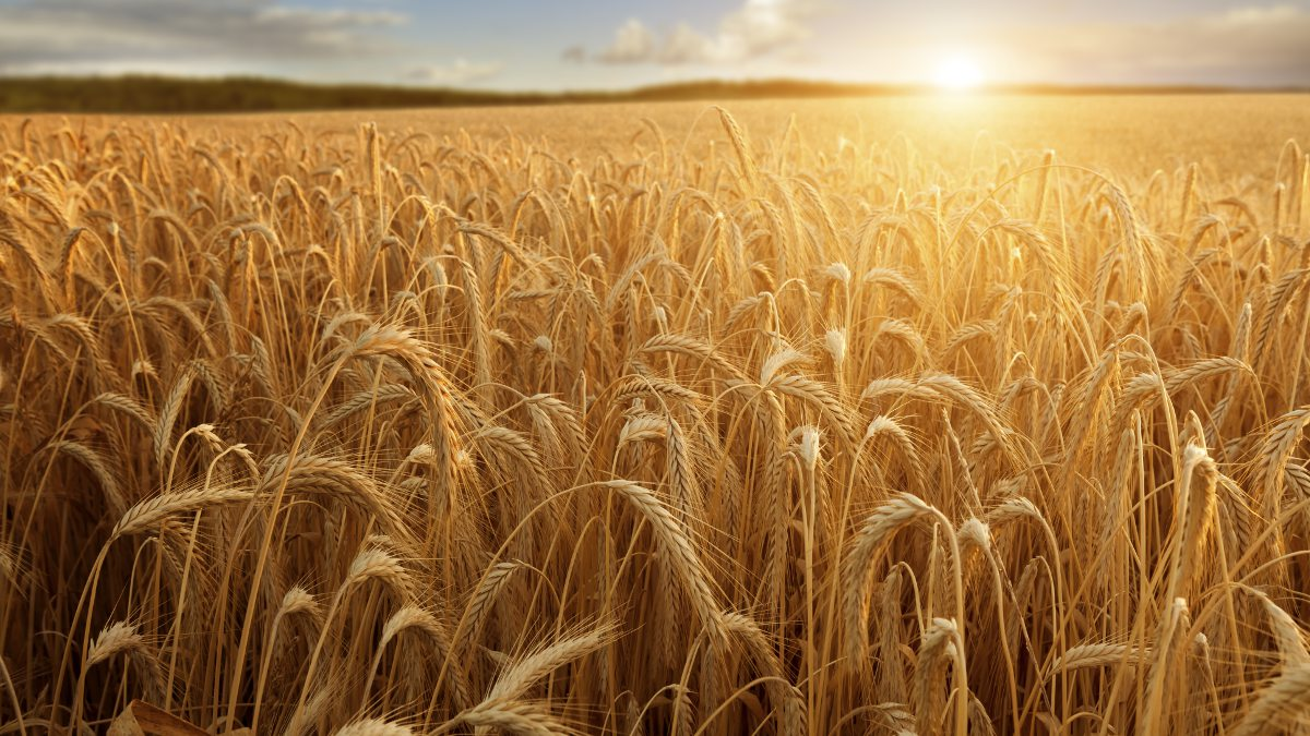 A field of ripe grain glistens in the summers sun.