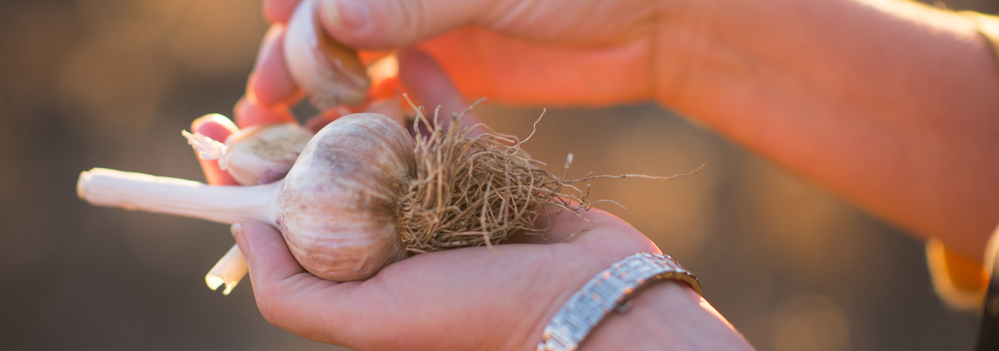 Holding a clove of garlic.