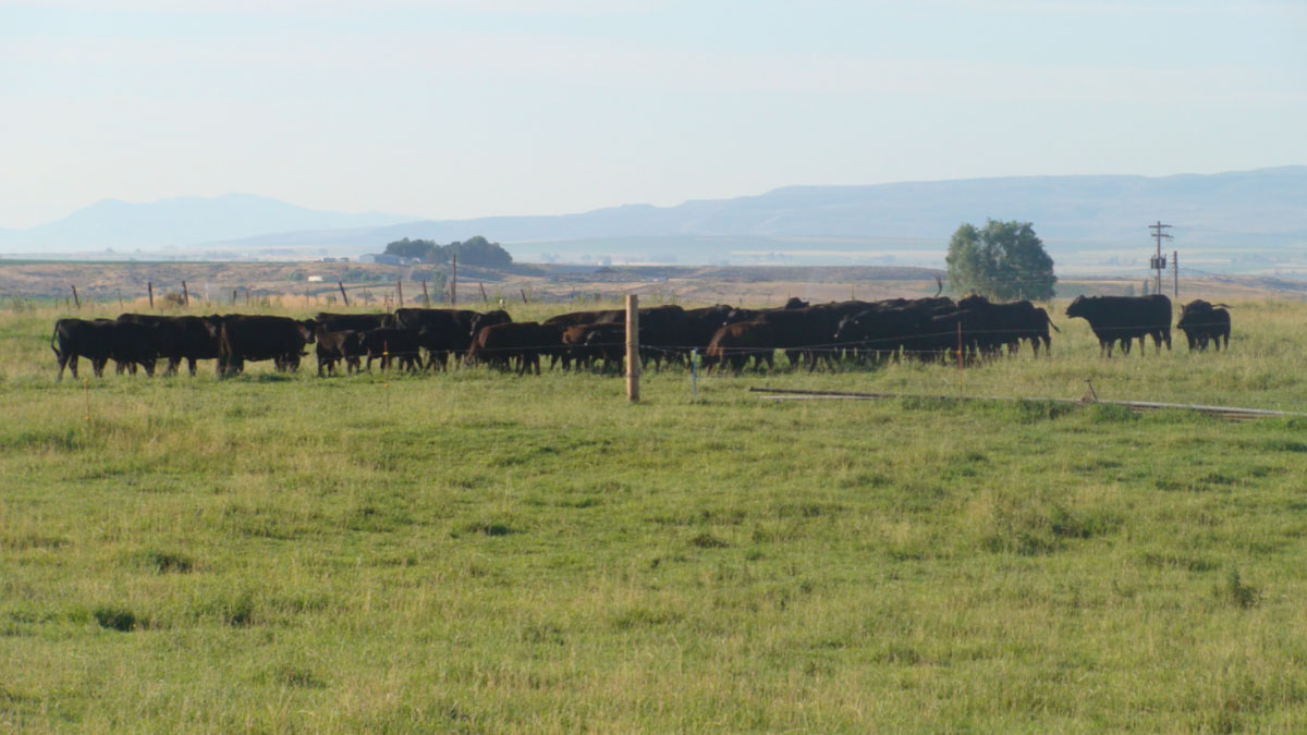 cattle grazing in Lincoln County