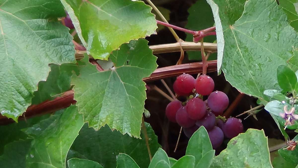 A red bunch of grapes hangs below the leaves.