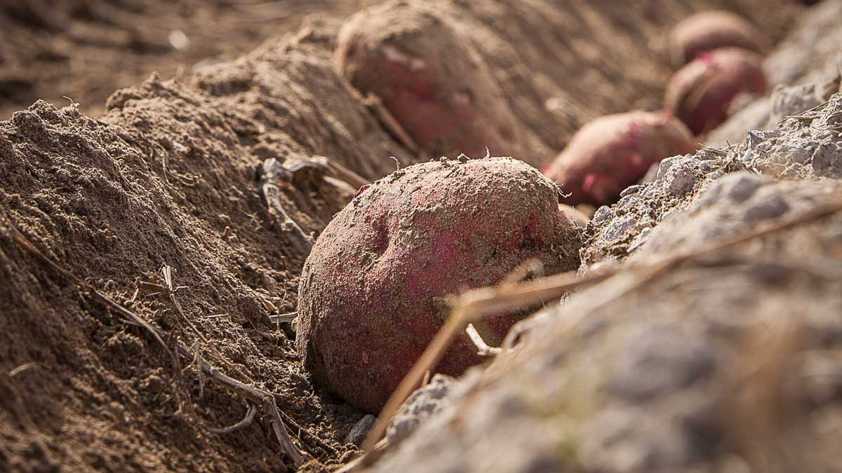 red potatoes in dirt